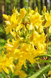 Yellow rhododendron flowers Royalty Free Stock Photos