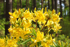 Yellow rhododendron flowers Stock Images