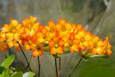 Yellow Rhododendron flowers Stock Image