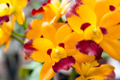 Yellow Rhynchostylis gigantea Orchid. Beautiful Rhynchostylis gigantea in Thailand,Close up of beautiful orchid.,Rhynchostylis gigantea (Lindl.) Ridl Stock Images