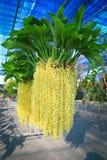 Yellow Rhynchostylis Orchid Royalty Free Stock Photo