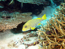 Yellow Ribbon Sweetlips Fish stock images