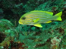 Yellow-ribbon sweetlips Royalty Free Stock Photography