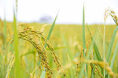 Yellow rice in farm Stock Photography
