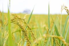 Yellow rice in farm. Beautiful yellow rice in farm closeup Stock Photography