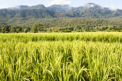 Yellow rice field in chiang mai. Stock Photo