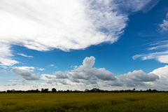 Yellow rice field with cloudy skies. Royalty Free Stock Photography