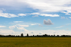 Yellow rice field with cloudy skies. Royalty Free Stock Images