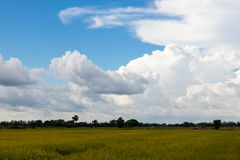 Yellow rice field with cloudy skies. Royalty Free Stock Image