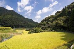 Yellow rice field Stock Image
