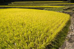 Yellow rice field Royalty Free Stock Photography