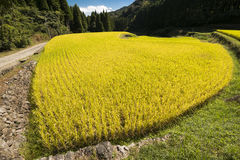 Yellow rice field Royalty Free Stock Images