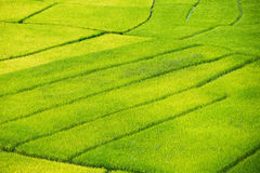 Yellow rice field Royalty Free Stock Photos