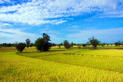 Yellow rice field. Landscape of blue sky and yellow rice field royalty free stock images