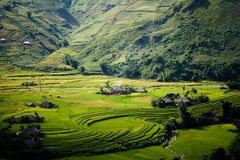 Yellow rice field in Mu Cang Chai highland, Vietnam royalty free stock photos