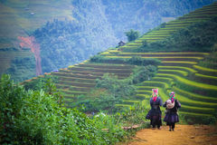 Yellow rice field in Mu Cang Chai highland, Vietnam royalty free stock photo