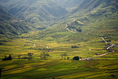 Yellow rice field in Mu Cang Chai, Vietnam royalty free stock image