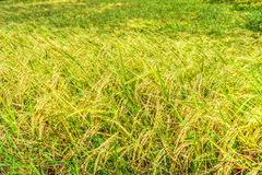 Yellow rice field Stock Image