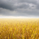 Yellow rice field and raincloud for background Stock Photography
