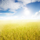 Yellow rice field and sun sky for background. In Thailand Royalty Free Stock Image