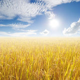 Yellow rice field and sun sky for background. Thailand Royalty Free Stock Photo