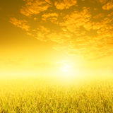 Yellow rice field and sunset for agriculture Royalty Free Stock Photos