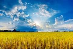 Yellow rice field in sunset Stock Images