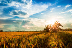 Yellow rice field at sunset Royalty Free Stock Photo