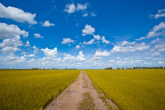Yellow rice field Royalty Free Stock Photo