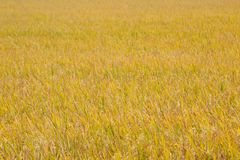 Yellow rice fields. Very end wide Out there, but rice fields Stock Images