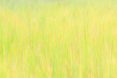 Yellow rice fields Royalty Free Stock Photos