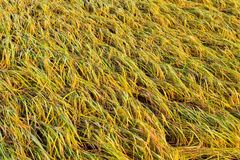 Yellow rice fields in Thailand. Southeast AsianYellow rice fields during the harvest season in Thailand, Southeast Asian royalty free stock photos