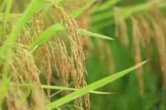 Yellow rice grain grow Royalty Free Stock Photo