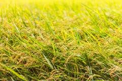 Yellow Rice grains background Stock Photo