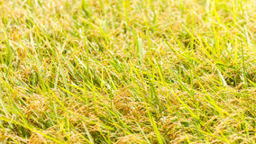 Yellow Rice grains background Stock Photos