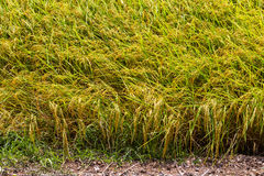 Yellow Rice grains background Royalty Free Stock Images