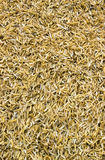 Yellow Rice peel after harvest and hull Royalty Free Stock Photography