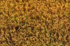 Yellow rice Royalty Free Stock Photo