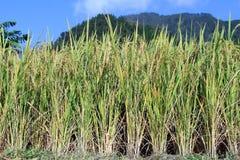 Yellow rice Stock Photo