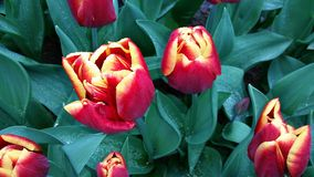 Yellow rimmed red tulips in Keukenhof Netherlands Stock Images