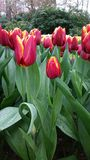 Yellow rimmed red tulips with wet leaves Royalty Free Stock Photo