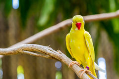 Yellow Ringnecked Parakeet . Royalty Free Stock Photography