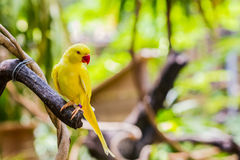 Yellow Ringnecked Parakeet (Psittacula krameri). Royalty Free Stock Images