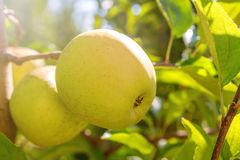 Free Yellow Ripe Applesin Orchard,Apple Tree,Golden Delicious Royalty Free Stock Image - 159524126