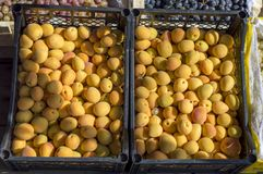 Yellow ripe apricots lie on the display in a black container for sale. royalty free stock photo