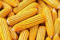 Yellow ripe corn Royalty Free Stock Photo