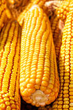 Yellow ripe corn collected Royalty Free Stock Photos