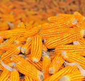 Yellow ripe corn collected in autumn Royalty Free Stock Photography
