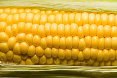 Yellow ripe ear of corn in green leaves Royalty Free Stock Image