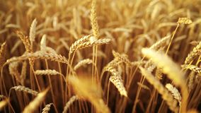 Yellow ripe ears of barley plants swaying by wind in wheat field. Harvest, nature, agriculture, harvesting concept. Yellow ripe ears of barley plants swaying by stock video